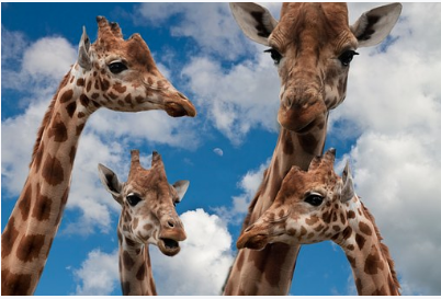 A family of giraffes of two parents and two kids.