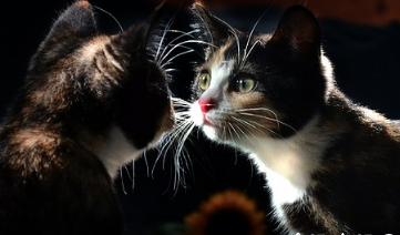 A cat staring at its reflection.